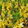 Stock Photo: Yellow Flowering Shrubs in Early Spring