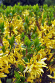 Yellow Flowering Shrubs in Early Spring — 图库照片