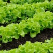 Lettuce Bed — Stock Photo #3127527