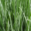 Ornamental Grass Carex — Stock Photo