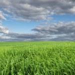 Beautiful Green Field Under Blue Sky — Stock Photo