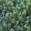 Juniper Shrub — Stock Photo