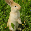 Cute Rabbit Standing on Hind Legs - Stock Photo