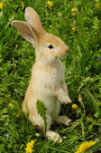 Cute Rabbit Standing on Hind Legs — Stock Photo