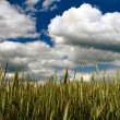 Rye Field Under Cloudy Sky — Stock Photo