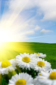 Sunlit Daisies — Stock Photo