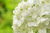 Hortênsia branca — Fotografia Stock