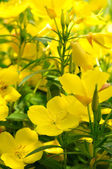 Evening Primrose (Oenothera) — Stock Photo