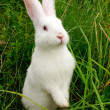 Cute White Rabbit Standing on Hind Legs - Stock Photo