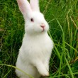 Stock Photo: Cute White Rabbit Standing on Hind Legs