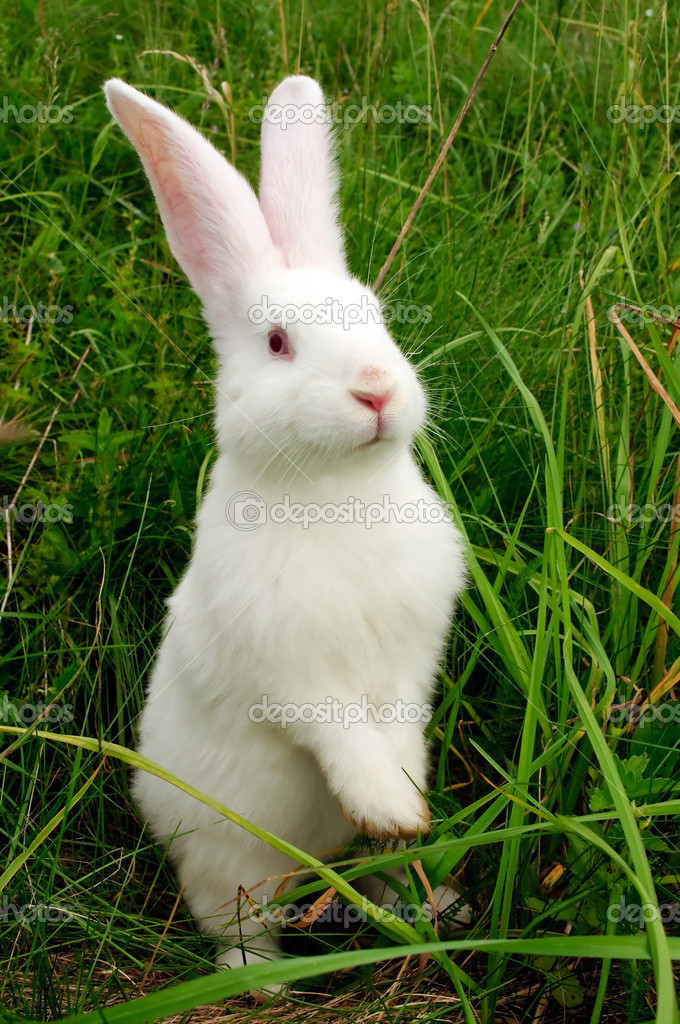 A cute white baby rabbit standing on hind legs in green grass — Stock Photo #3450891