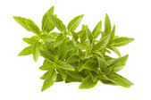 Fresh Green Piccolo Basil — Stock Photo