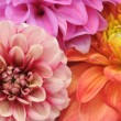 Beautiful Dahlias — Stockfoto