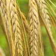 Ears of Barley — Stock Photo