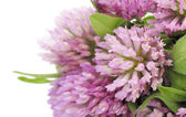 Red Clover — Stock Photo