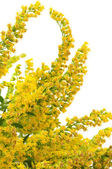 Canada Goldenrod Flowers — Stock Photo
