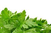 świeżej zielonej pietruszki — Zdjęcie stockowe