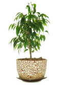 Weeping Fig (Ficus Benjamina) in Pot — Stock Photo