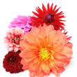 Multicolored Dahlias — Stock Photo #3741942