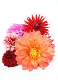 Multicolored Dahlias — Stock Photo