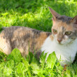 Cornish Rex Cat on Green Grass — Stock Photo