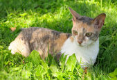 Cornish Rex Cat on Green Grass — Stock Photo
