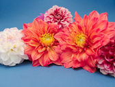 Multicolored Dahlias — Stock Photo