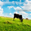 Cows Grazing on Pasture — Stock Photo