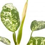 Flowering dieffenbachia — Stock Photo