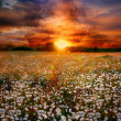 Landscape with daisies on sunset — Stock Photo #3093160