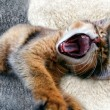 Ruddy Somali kitten — Stockfoto