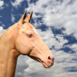 Akhal-Teke - Stock Photo