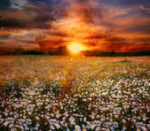 Landscape with daisies on sunset — Stock fotografie