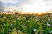Daisy field — Stockfoto