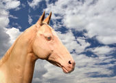 Akhal-Teke — Stock Photo