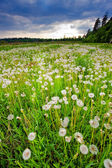 Beautiful field with dandelions — Stock Photo