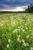 Piękne pole z mniszek lekarski — Zdjęcie stockowe