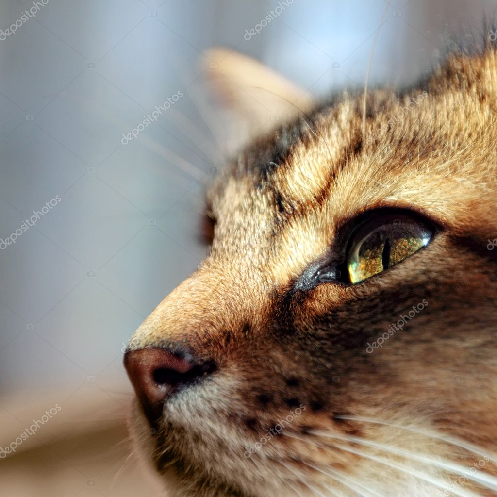 Close-up of cleaning somali kitten — Stock Photo #3712062