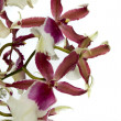 Orchid with water reflection - Stock Photo