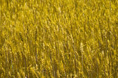 Wheat background — Stock fotografie