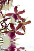 Orchid with water reflection — Stock Photo