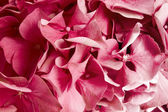 Hydrangea background — Stock Photo