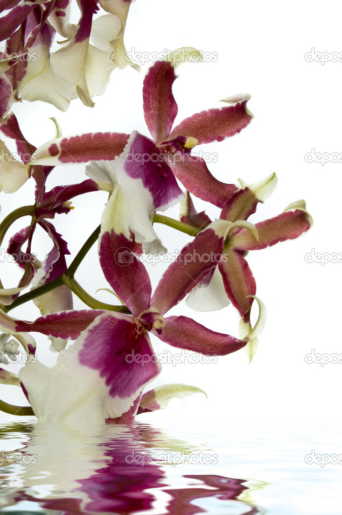 Orchid with water reflection — Stock Photo #4286006