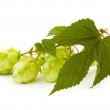Golden hops on white — Stock Photo #4297294