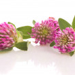 Herbal medicine: clover isolated — Stock Photo