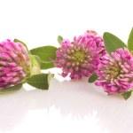 Herbal medicine: clover isolated — Stock Photo