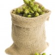 Golden hops on white — Stock Photo #4309525