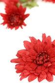 Red chrysanthemum layout — Stock Photo