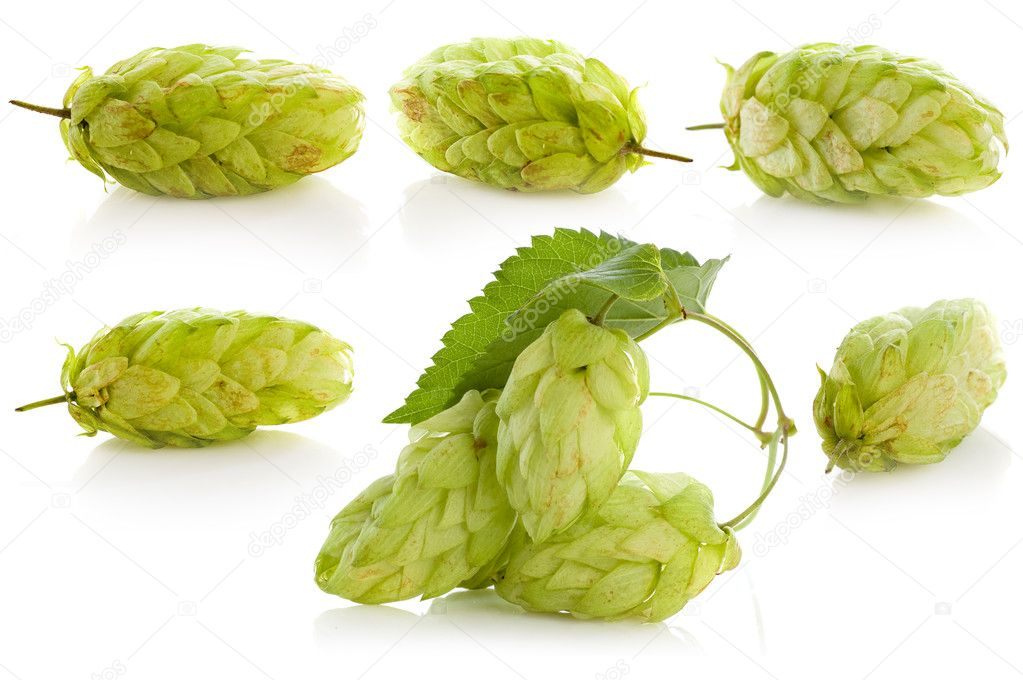 Golden hops on white    Stock Photo #4303006