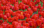 Tulips background — Stock Photo